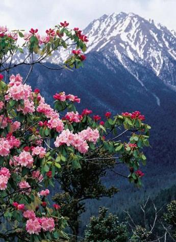 走 去西藏看高原杜鹃花